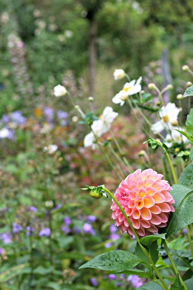 Image Result For Clove Gardenel