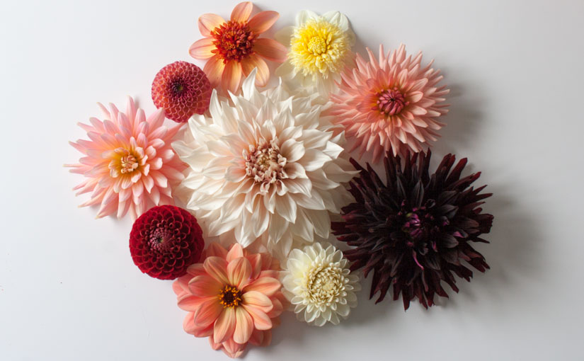 Planning a dahlia garden: choosing shapes, sizes and colours