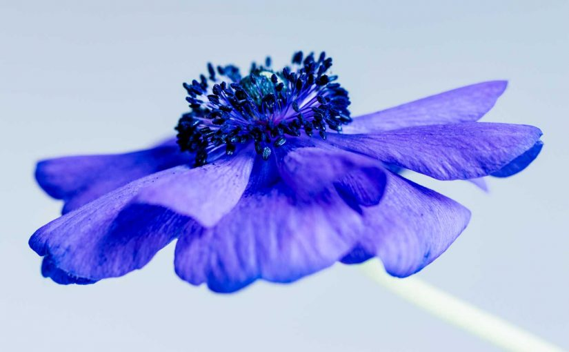 Photographing blue anemones