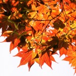Japanes-maple-tree-leaves