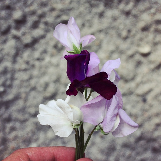 Picking-sweetpeas-lathyrus-cloverhome