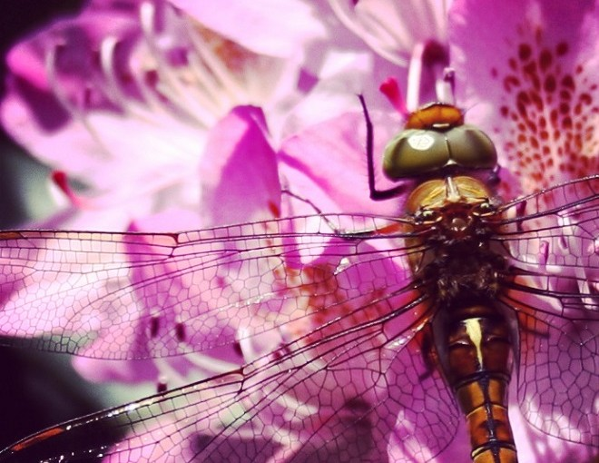 Dragonfly on pink rhododendron flowers