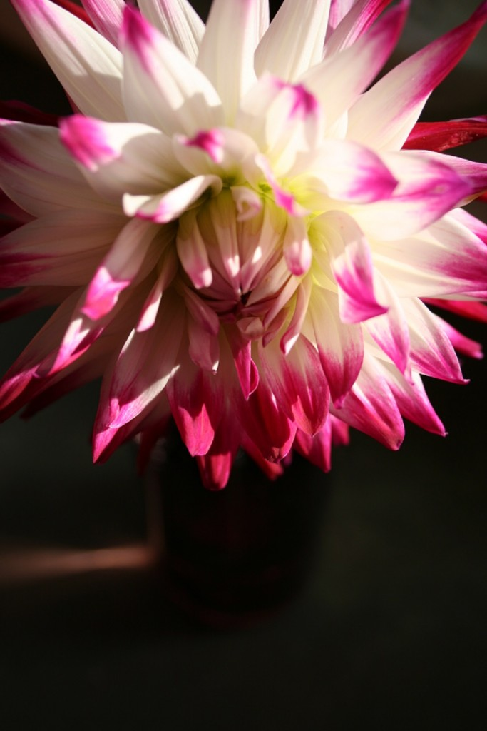 At the cutting garden: cactus dahlia - Cloverhome.nl