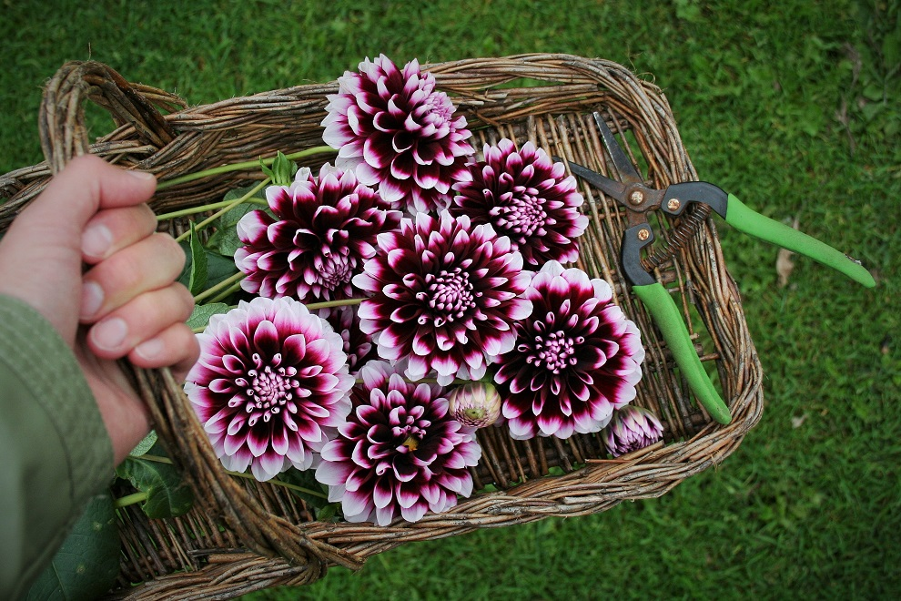 Flower-basket-dahlias-scissors