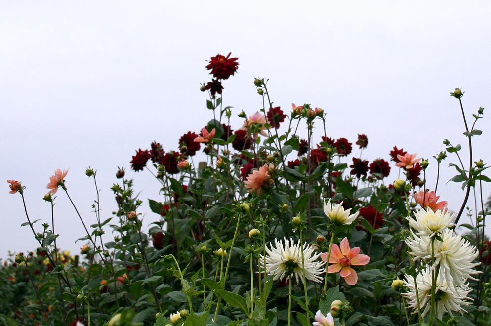 Dahlias growing high at a cutting garden