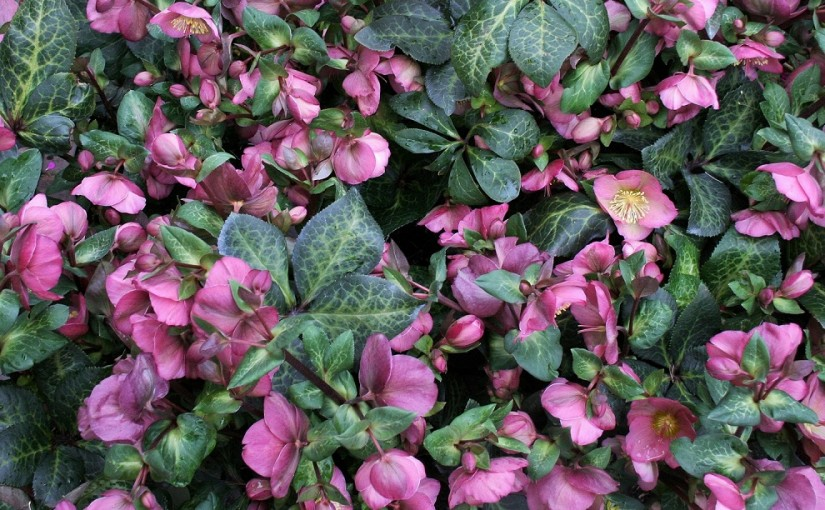 Purple helleborus at the flowermarket