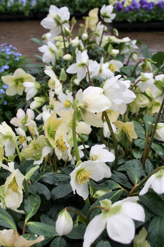 Helleborus-niger-flowermarket-Holland