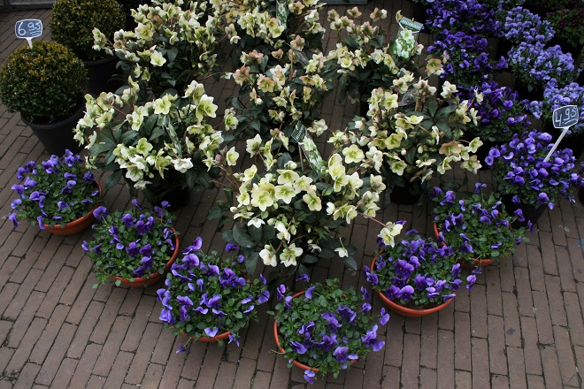 Helleborus niger and pansies at a flowermarket in Holland