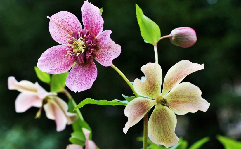 Growing hellebores