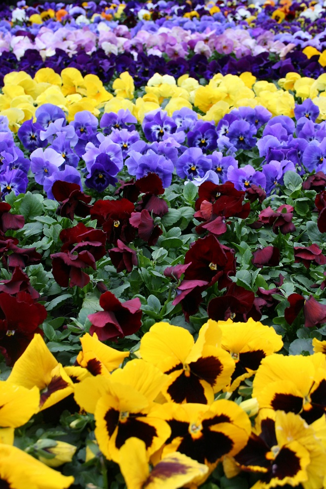 Colourful pansies at a flowermarket in Holland