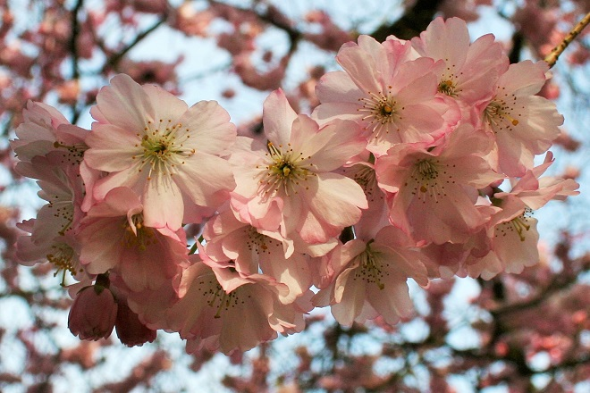 Spring flowering trees: cherry blossom - Cloverhome.nl