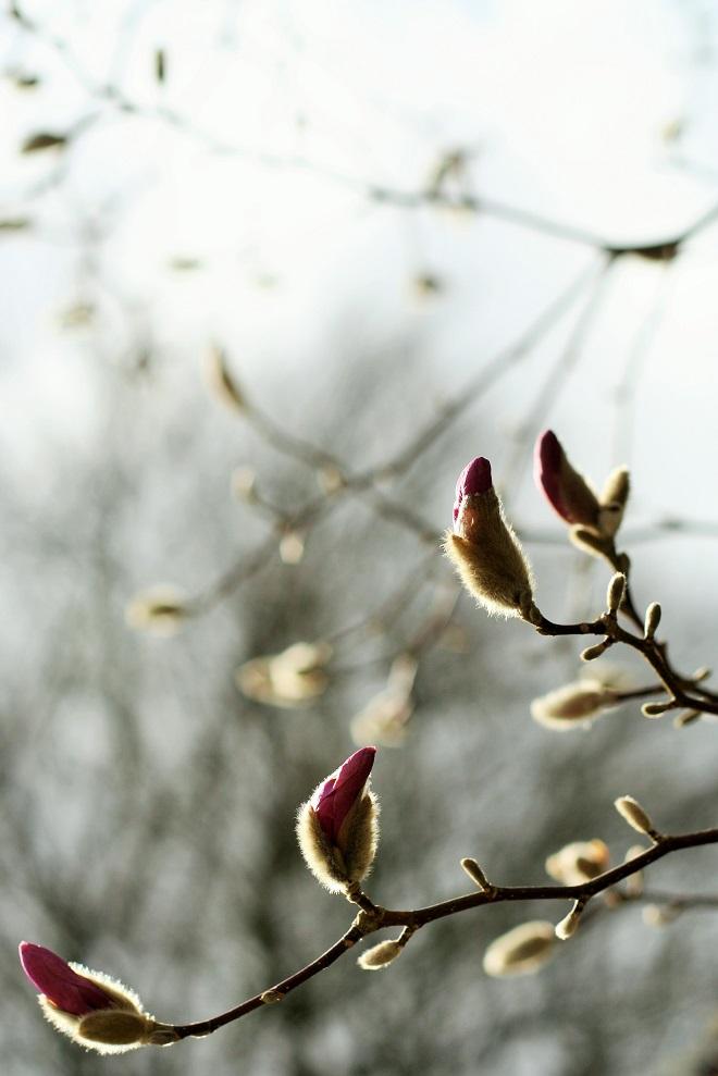 Spring flowering trees: magnolia - Cloverhome.nl