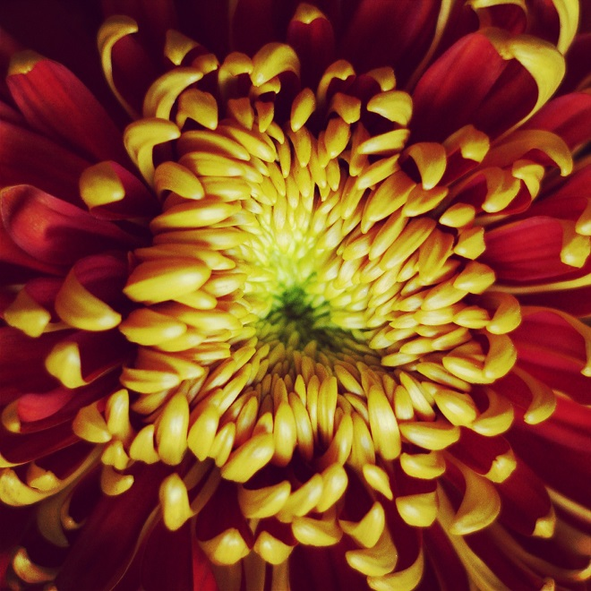 The language of flowers: chrysanthemum - Cloverhome.nl