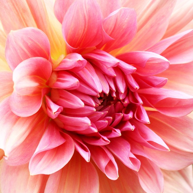 The language of flowers: pink dahlia - Cloverhome.nl