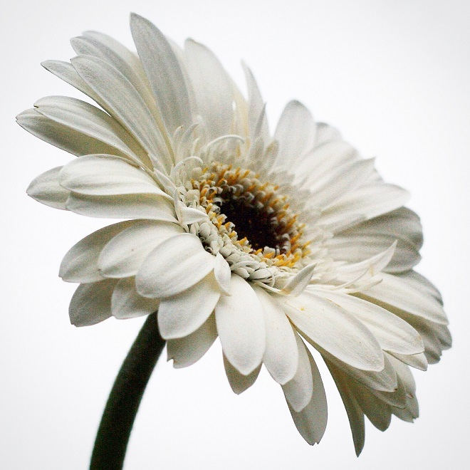 The language of flowers: gerbera - Cloverhome.nl