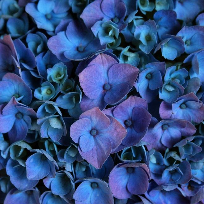 The language of flowers: hydrangea - Cloverhome.nl