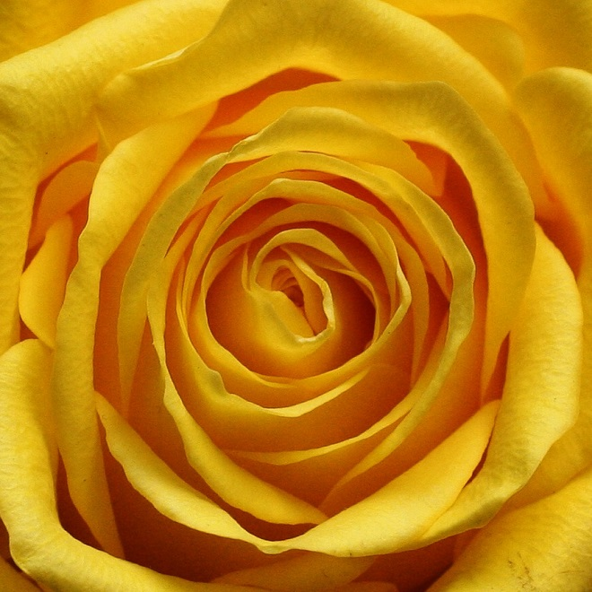 The language of flowers: yellow rose - Cloverhome.nl