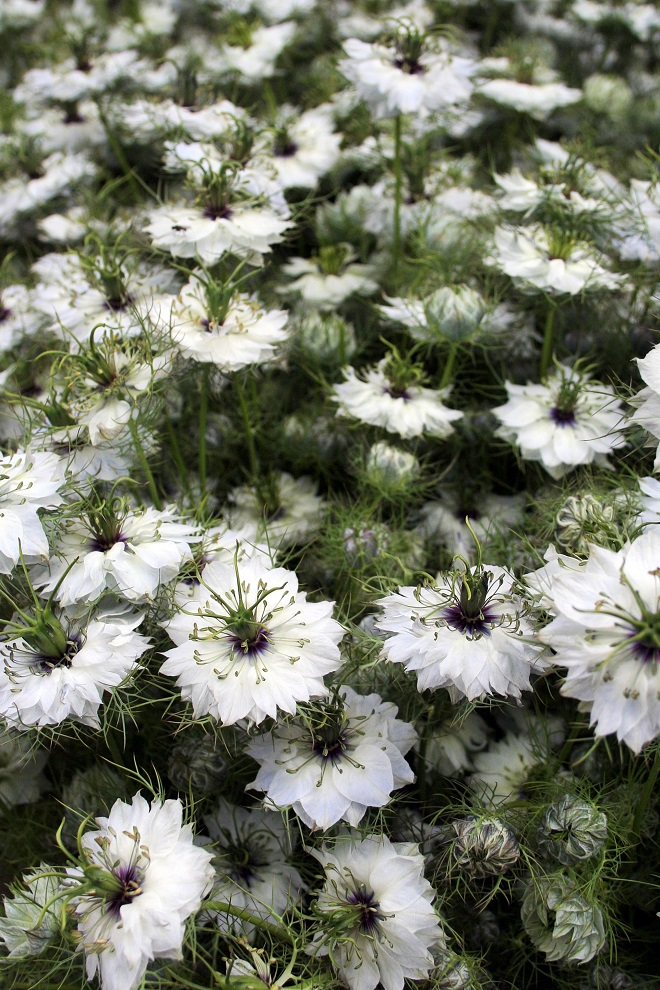 Market days June: summer flowers, nigella - Cloverhome.nl