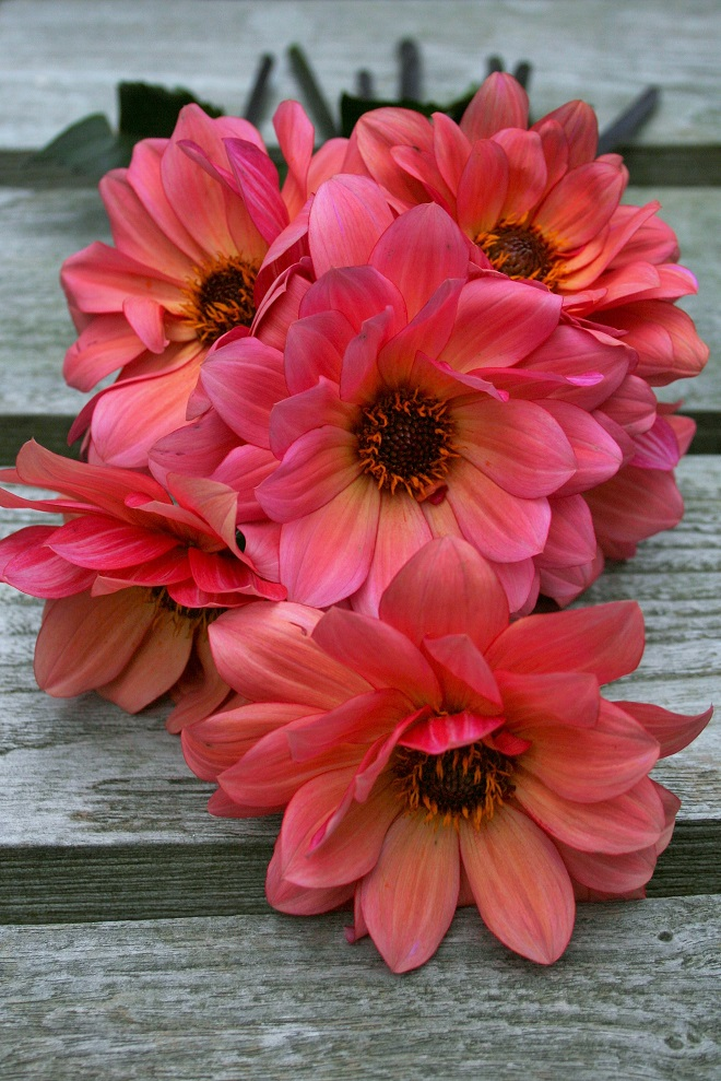 Dahlia garden: Dahlia Classic Poeme - Cloverhome.nl