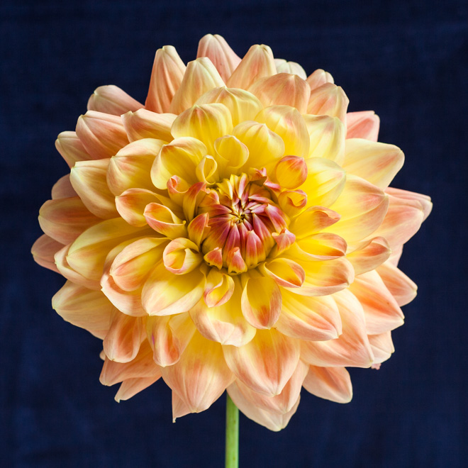 Dahlia garden review: Dahlia Ace Summer Sunset - Cloverhome.nl