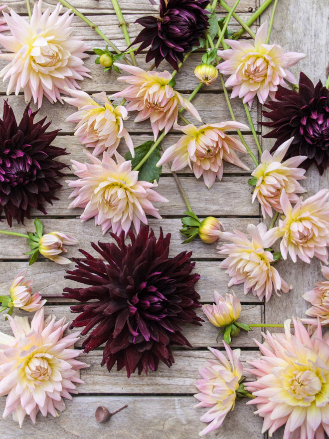 Dahlia garden review: Dahlias Bellelaine and Black Jack - Cloverhome.nl