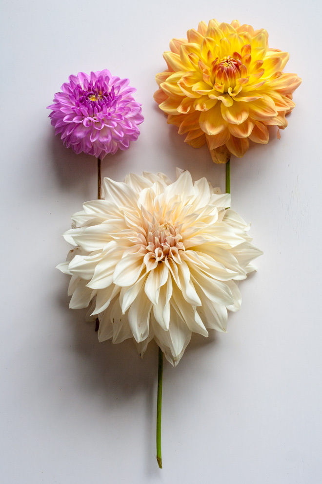 Dahlia garden review: Dahlias Lucky Number, Ace Summer Sunset and Café au Lait - Cloverhome.nl