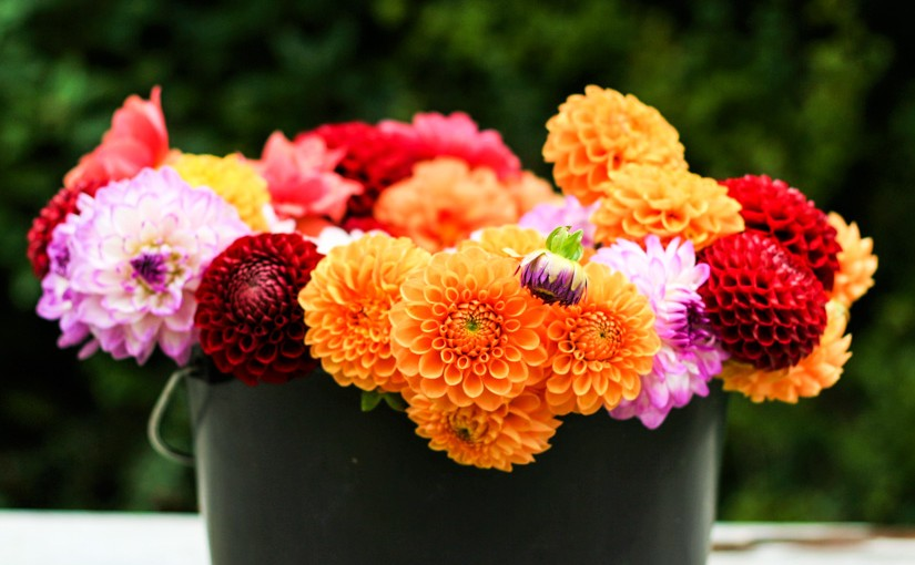 Dahlia garden review: a bucket full of dahlias - Cloverhome.nl