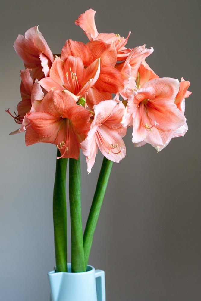 Amaryllises in a vase - Cloverhome.nl