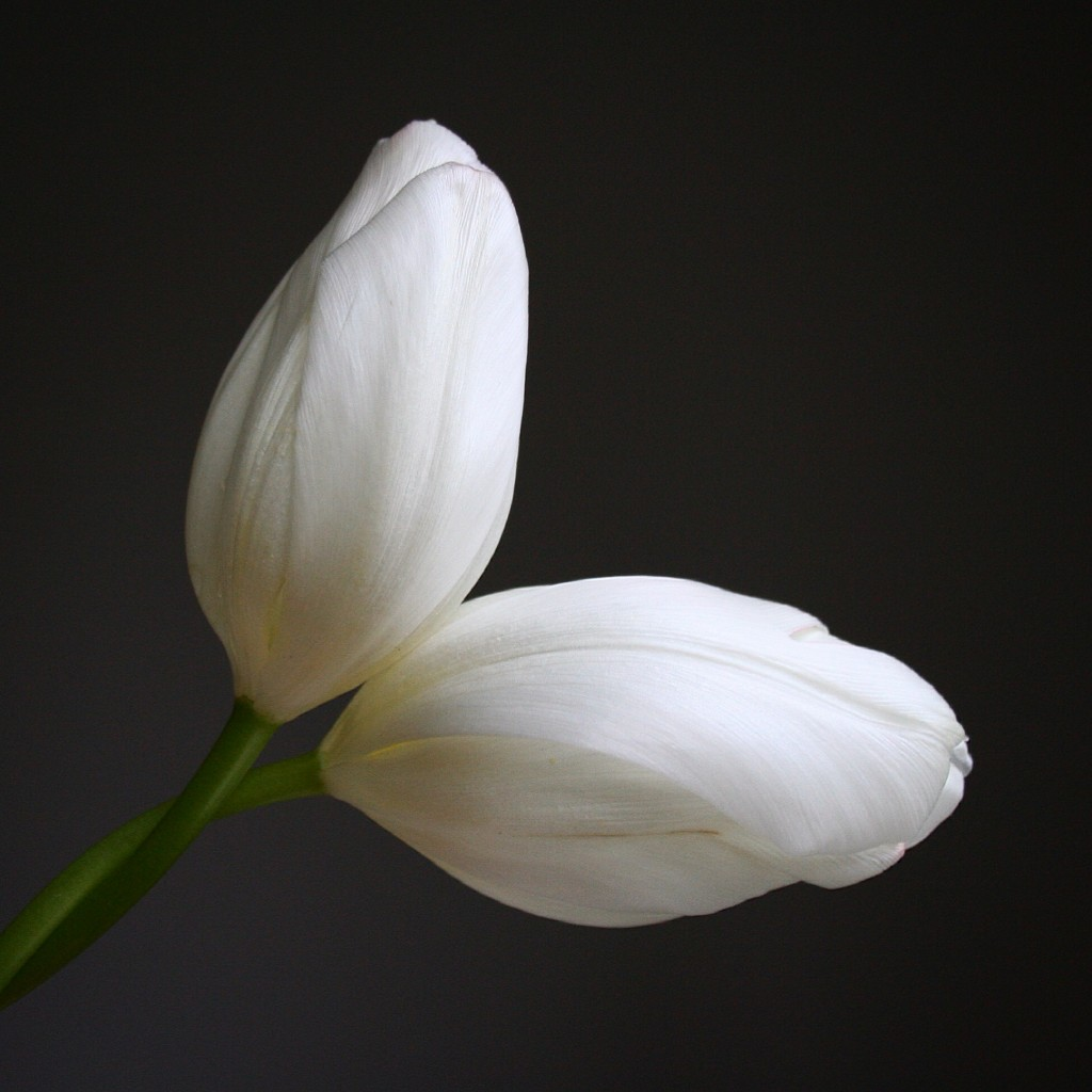 Best flowers for Valentine's Day besides roses: white tulips - Cloverhome.nl