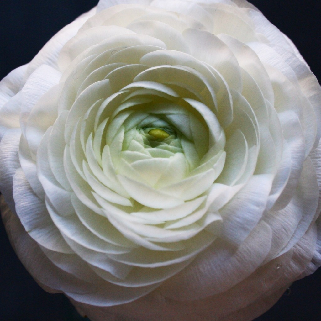 Best flowers for Valentine's Day besides roses: white ranunculus - Cloverhome.nl