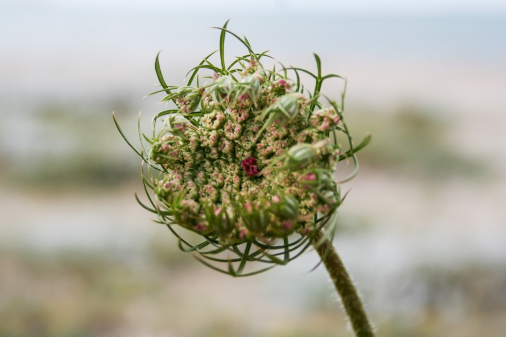 5 reasons to grow your own flowers: Queen Anne's lace or Daucus carota - Cloverhome.nl