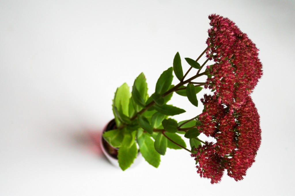 5 reasons to grow your own flowers: Sedum spectabile - Cloverhome.nl