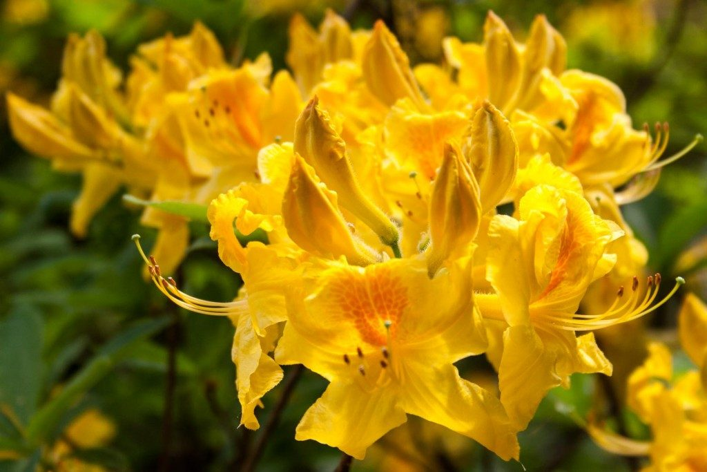 Bring colour into your garden with rhododendrons - Cloverhome.nl
