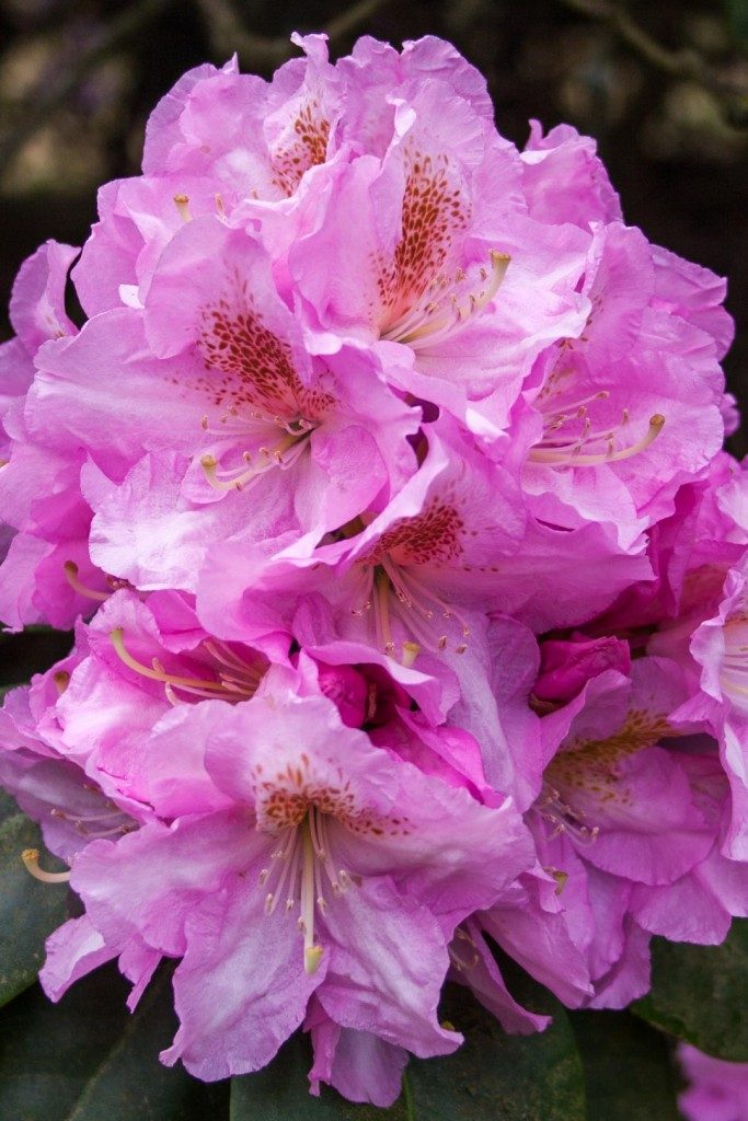 Colour_garden_rhododendrons_pink