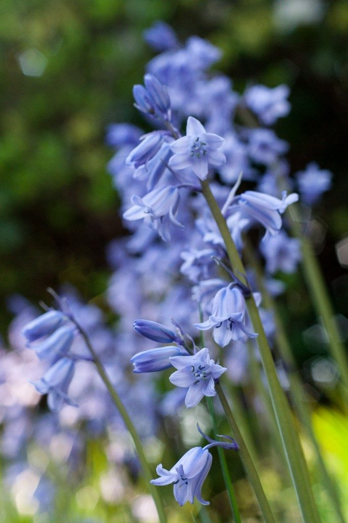 What's blooming in the garden in May: bluebells - Cloverhome.nl