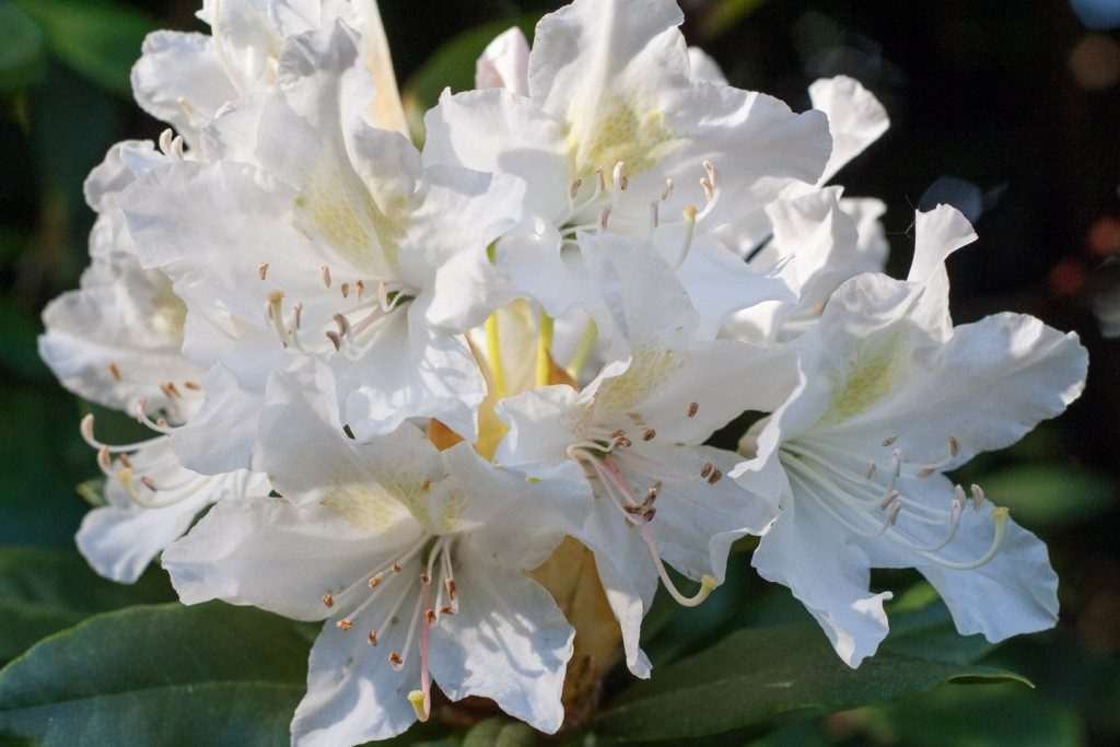 What's blooming in the garden in May: rhododendron - Cloverhome.nl
