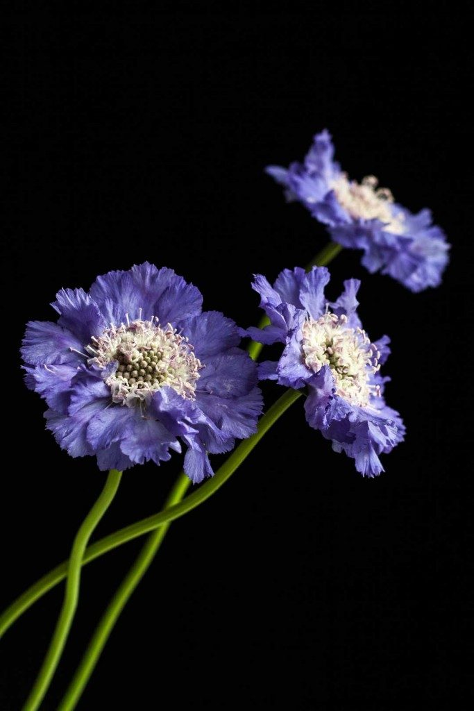 End of summer: scabiosa - Cloverhome.nl