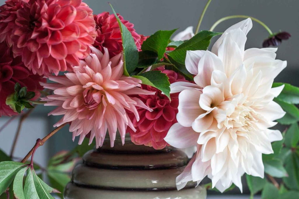 Learn how to create a simple dahlia arrangement featuring the most popular dahlia of the moment, Café au Lait. Combine with smaller dahlias and vine.