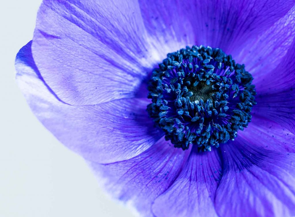 Photographing blue anemones - Cloverhome.nl