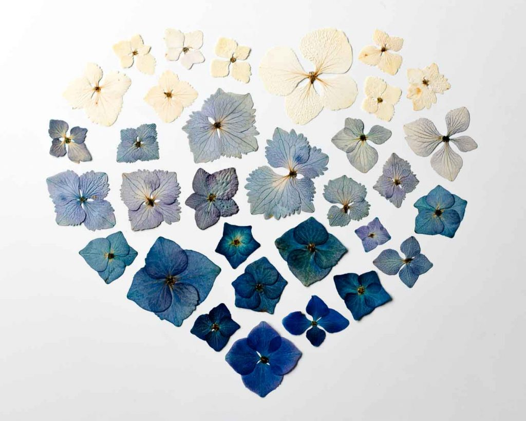 Create a dried hydrangea heart for Valentine's day with dried hydrangea petals. Hydrangea flowers are easy to dry, taking on a beautiful faded colour - Cloverhome.nl