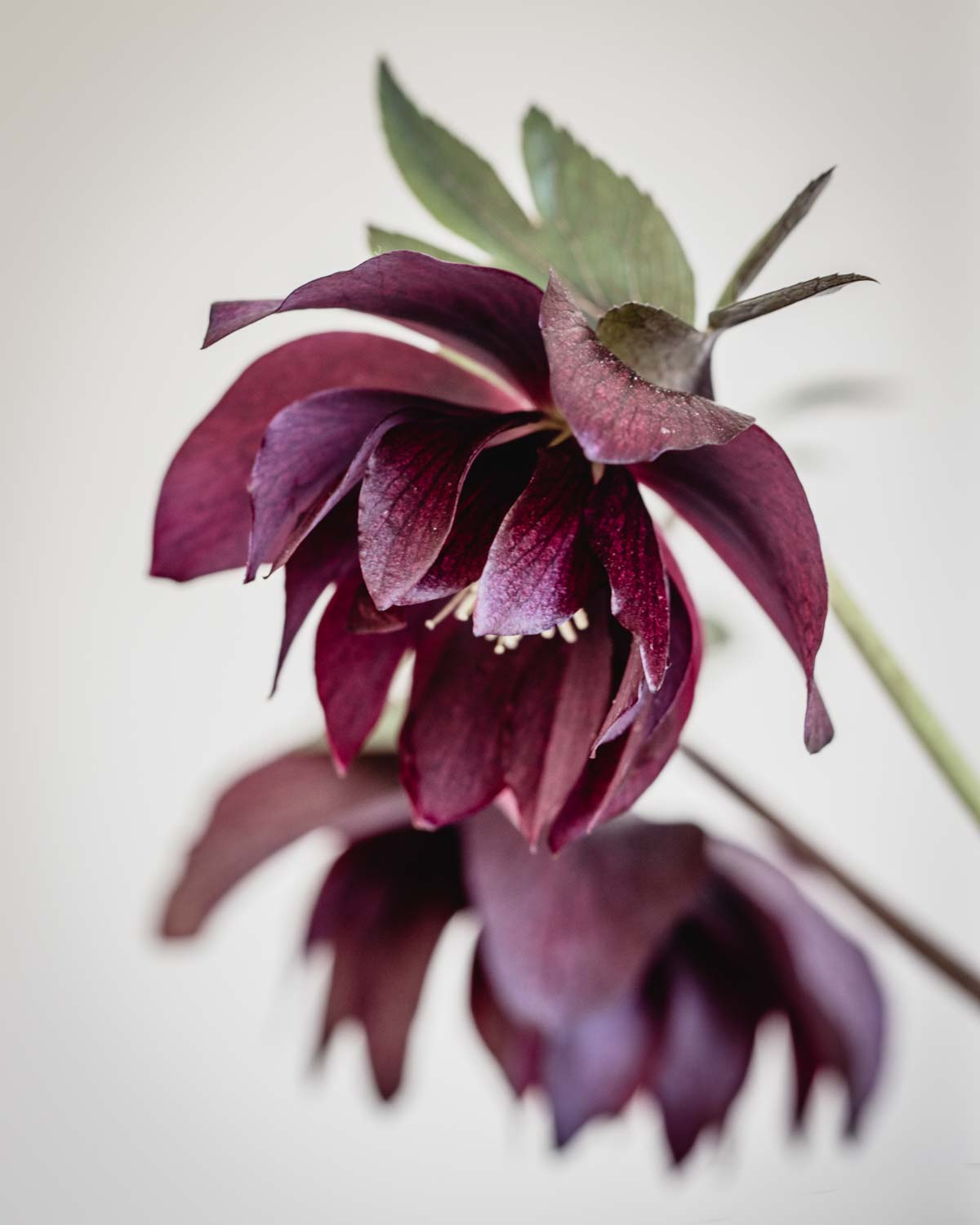 Heavenly hellebores: Helleborus 'Cerise', deep red-purple flowers on dark stems and dark green leaves - Cloverhome.nl