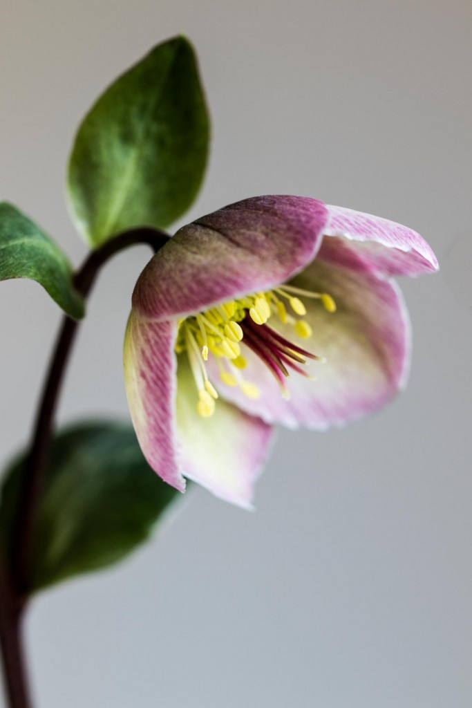 Heavenly hellebores: bicoloured flowers on dark stems and marbled foliage, Helleborus 'Bayli's Blush' - Cloverhome.nl