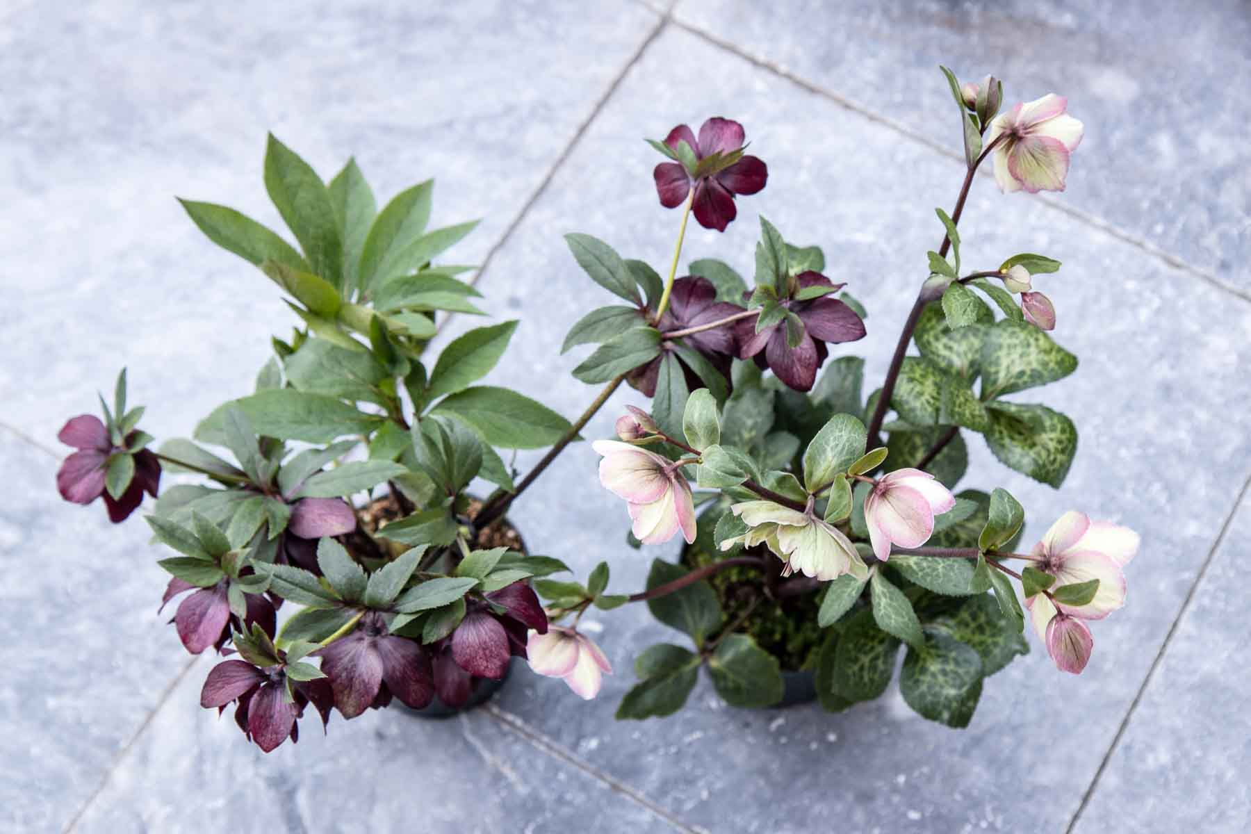 Heavenly hellebores: new additions - Cloverhome.nl