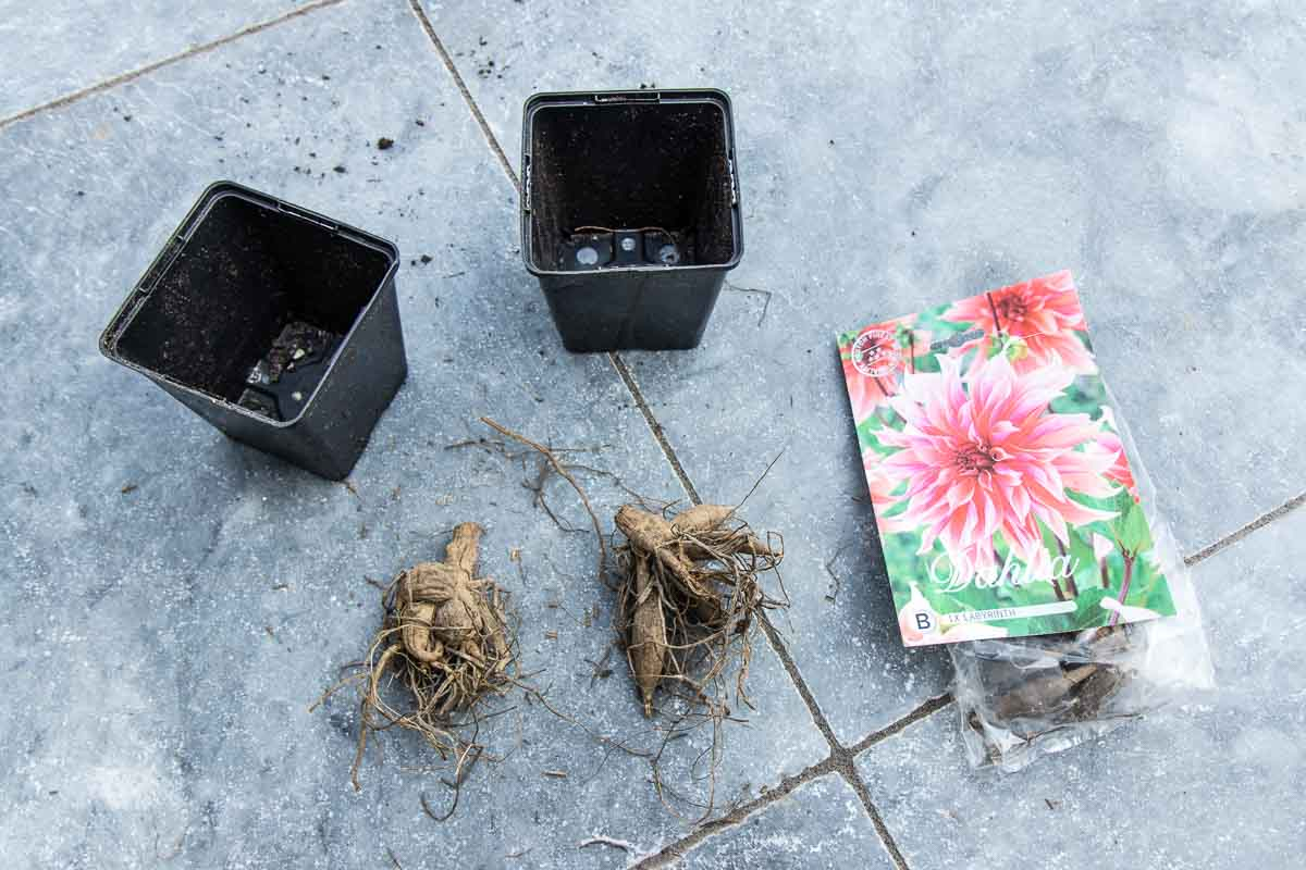 Find out when is the best time to plant dahlias and how to design your plot. With tips on potting up tubers and planting them out in the garden.