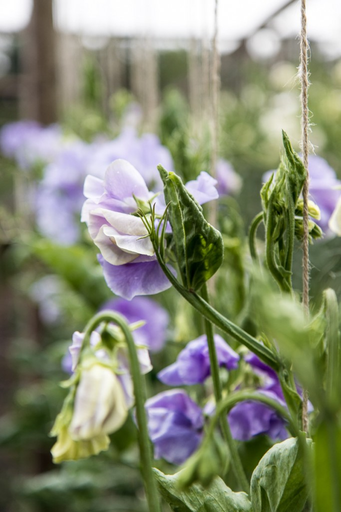 Sweet peas are nostalgic flowers and a cottage garden favourite. Take a look at the cutting garden onthis farm where you can pick your own sweet peas - Cloverhome.nl