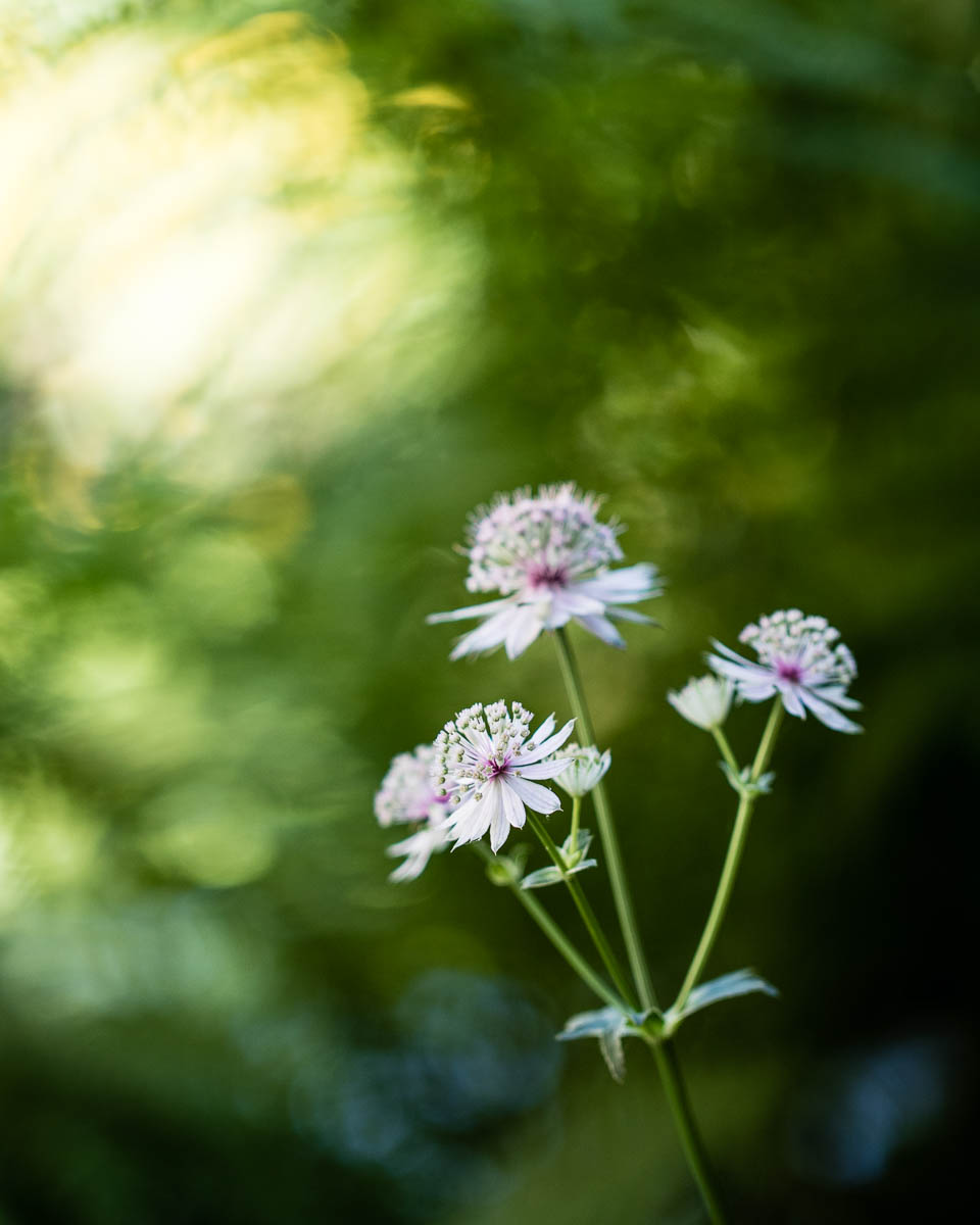 What's blooming in the garden June: delicate astrantias - Cloverhome.nl