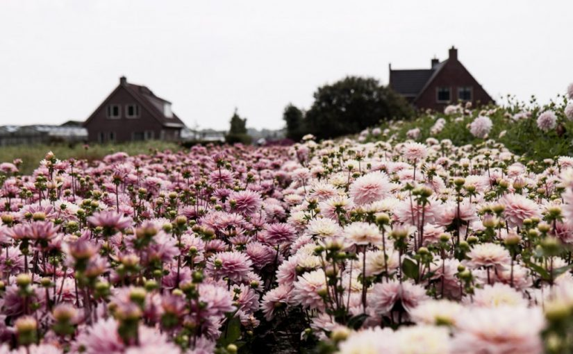 A Family Flower Farm in Holland growing dahlias