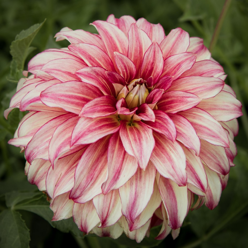 Dahlias a family flower farm in holland cloverhome visit a family flower farm growing dahlias learn more about the most popular dahlia varieties izmirmasajfo