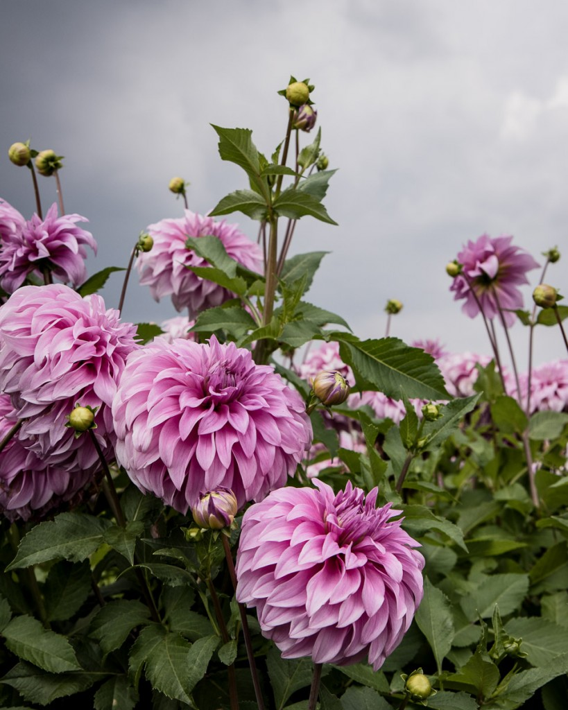 Visit a family flower farm growing dahlias. Learn more about the most popular dahlia varieties, growing dahlias and how to make them last longer in the vase - Cloverhome.nl