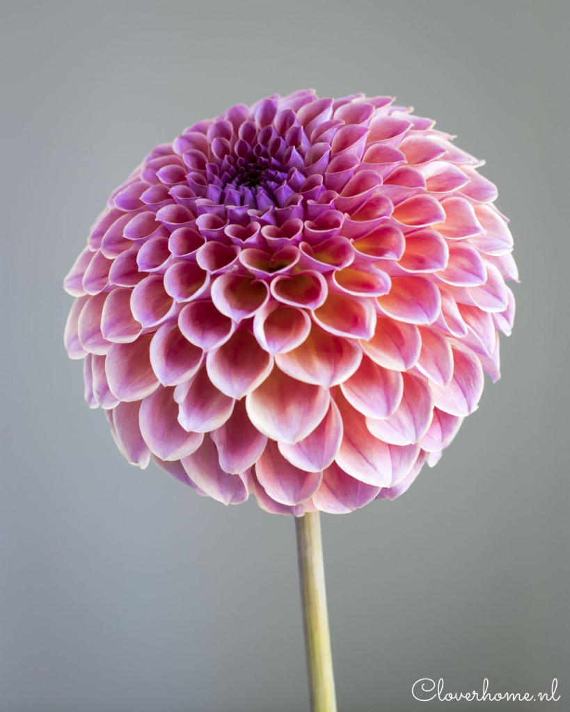 While waiting for the start of the dahlia season, I like to present a few new favourite dahlia varieties: Jowey Winnie - Cloverhome.nl